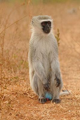 Südliche Grünmeerkatze - Vervet monkey -