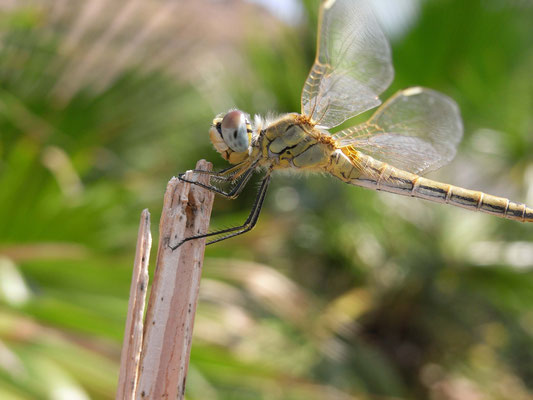 Frühe Heidelibelle - Sympetrum fonscolombii (Weibchen)