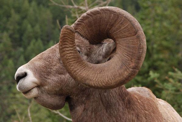 Dickhornschaf - Bighorn sheep
