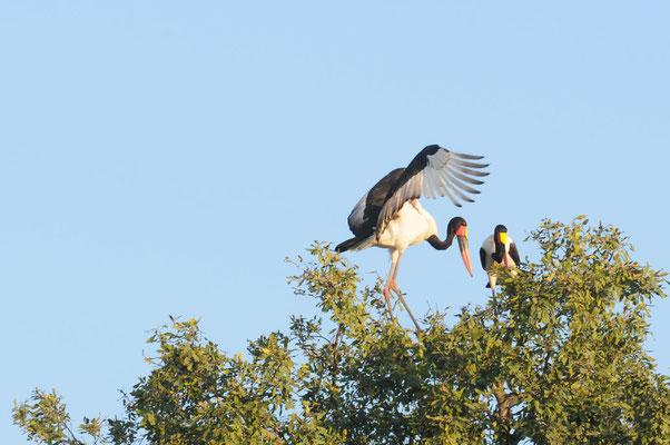Sattelstörche - Saddle-billed stork