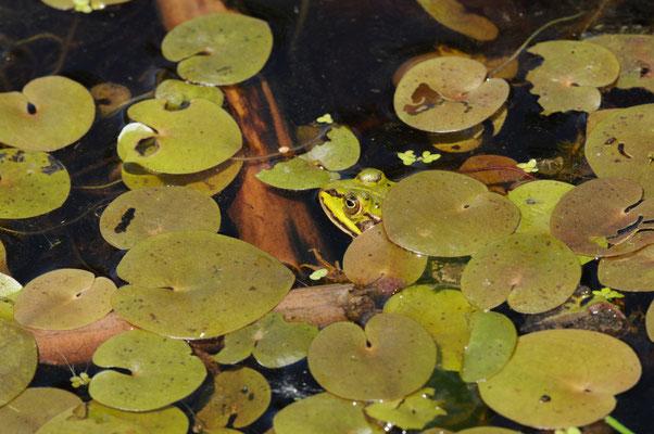 Froschsuchbild