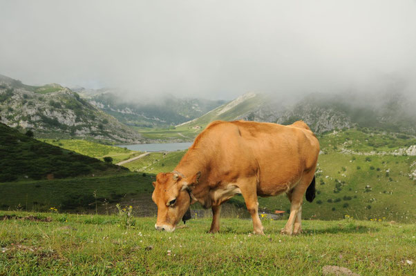Picos de Europa - glückliche Kühe