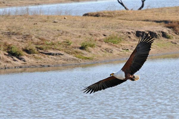 Schreiseeadler - african fish eagle - visarend