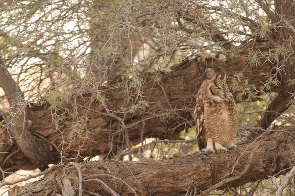 Fleckenuhu - spotted eagle owl