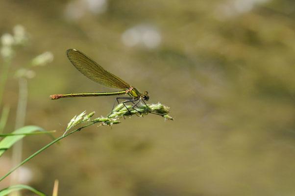Gebänderte Prachtlibelle - Calopteryx splendens (Weibchen)