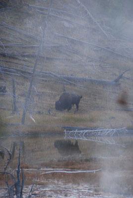Bison im Nebel