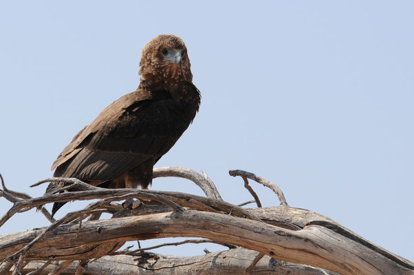 Einfarb Schlangenadler - brown snake-eagle
