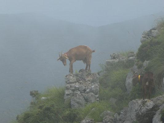 Ziegen im Nebel