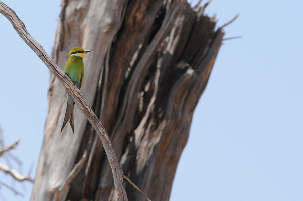 Kalahari Gemsbok Park - Kgalagadi Transfrontier Park - Schwalbenschwanzspint - Swallowtailed Bee-eater