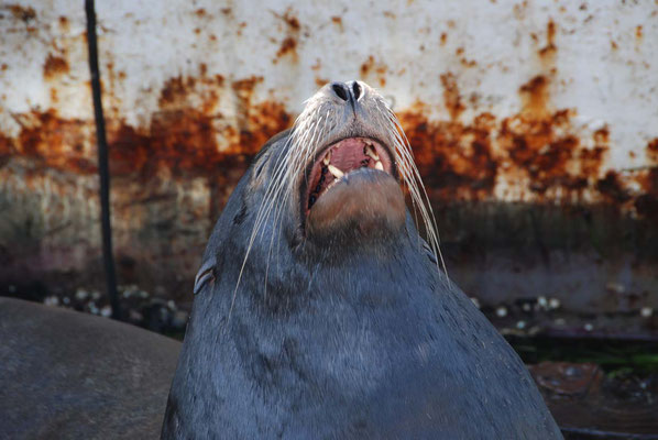 Der posende Seelöwe