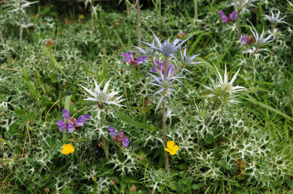 Flora in den Picos