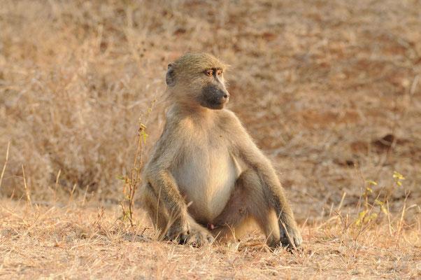 Träumender Pavian -Baboon - bobbejaan