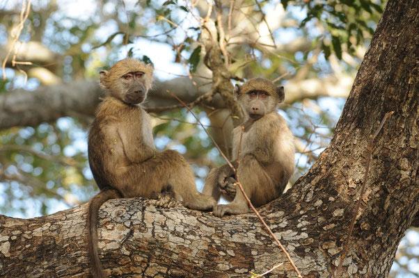 Paviane - Baboon - bobbejaan