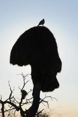 Silhouette eines Webervogelnests