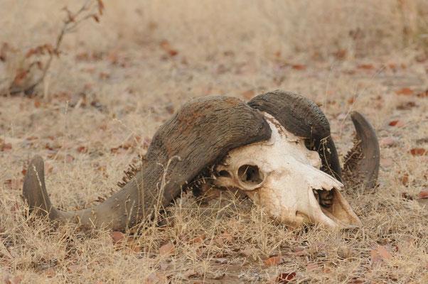 Überreste eines Büffels