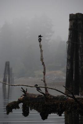 Port Alice - Gürtelfischer - american belted kingfisher - Cerylealcyon