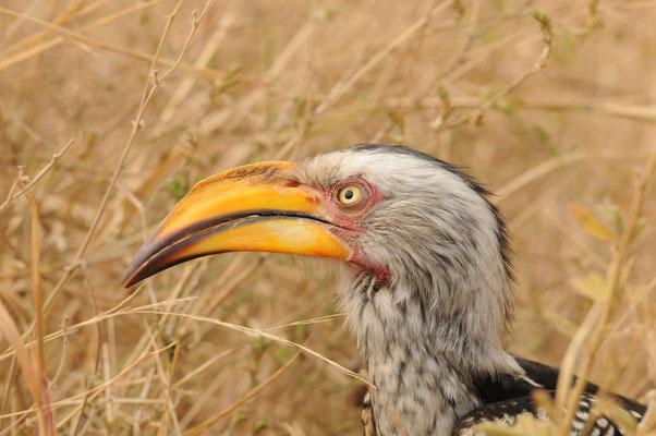 Südlicher Gelbschnabeltoko - Southern yellow-billed hornbill