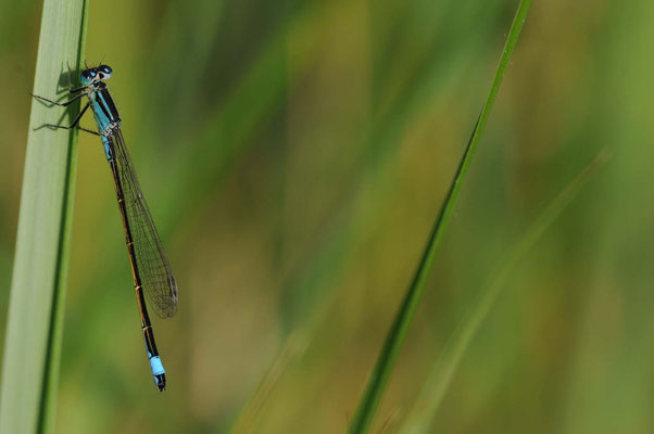 Große Pechlibelle - Coenagrinoidae ischnura elegans (Weibchen)
