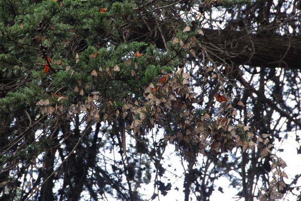 Pismo - riesige Ansammlungen des Monarchfalters