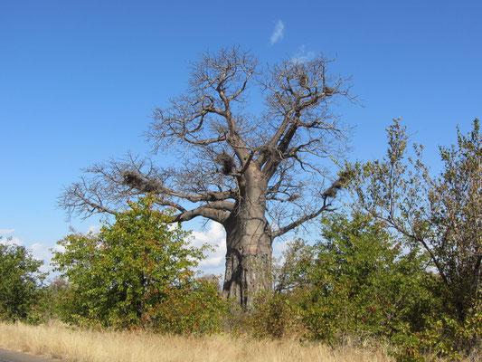 Affenbrotbaum, Baobab