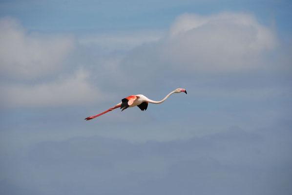 Camargue - Flamingo