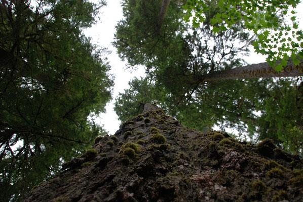 Hoh Rain Forrest - Olympic Nationalpark