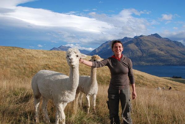Neuseeland - freundliche Alpakas