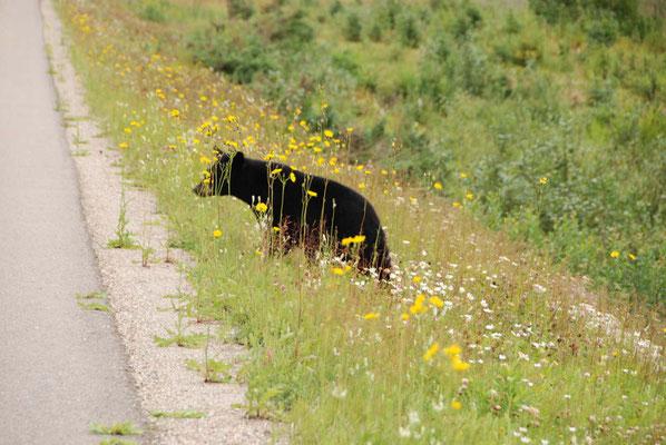 getarnter Bär