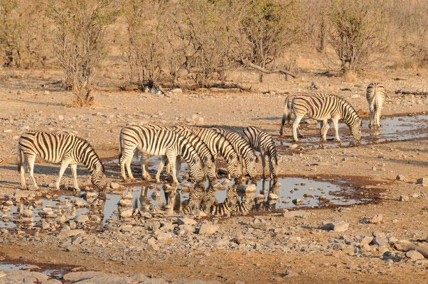Etosha NP - Steppenzebras - Zebras - Bontkwagga
