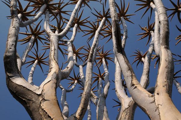 Ein Köcherbaum