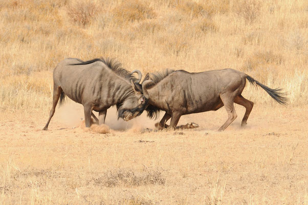 2 halbstarke Streifengnus beim Kräftemessen - Blue wildebeest