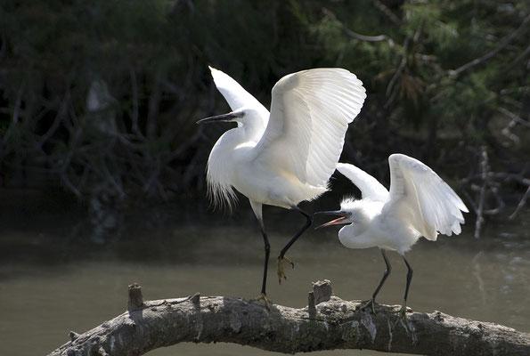 Camargue - Seidenreiher
