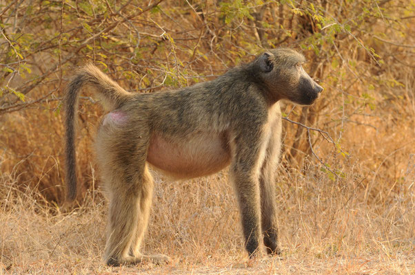 Pavian - Baboon - bobbejaan