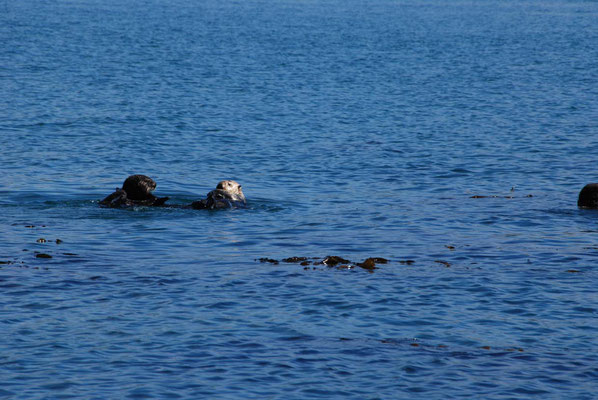 Morro Bay - Seeotter