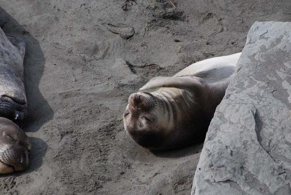 Piedras Blancas - auch beim Seeelefanten juckt manchmal die Nase