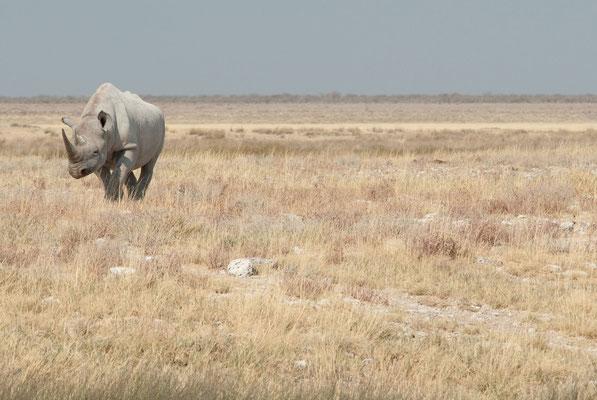 Etosha NP - seltenes Spitzmaulnashorn - black rhino - swartrenoster
