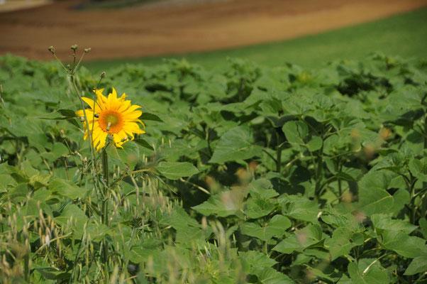 Eine vorwitzige Sonnenblume