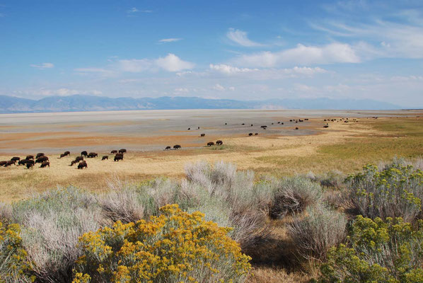 Antelope Island - Bisons