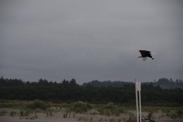 Der erste Weißkopfseeadler