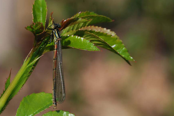 Frühe Adonislibelle - Pyrrhosoma nymphula (Weibchen)