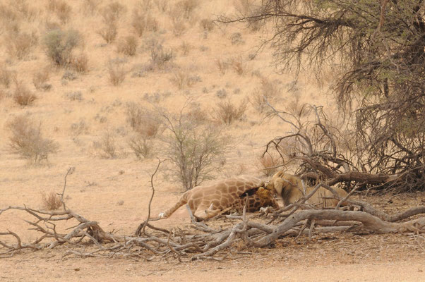 Löwe mit gerissener Giraffe
