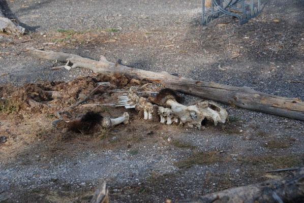 Überreste eines Bisons