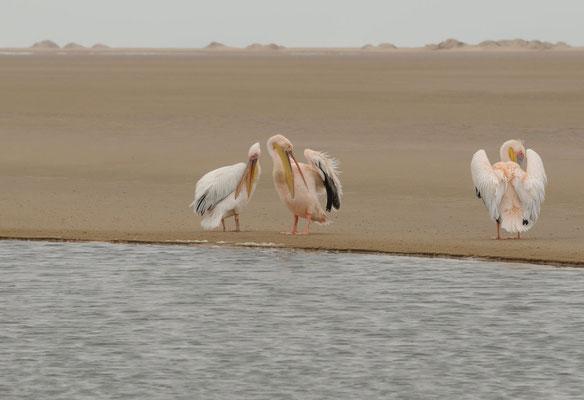 Walvis Bay - Rosa Pelikane - witpelikaan