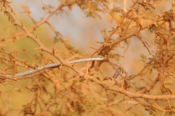 Baumschlange - boomslang