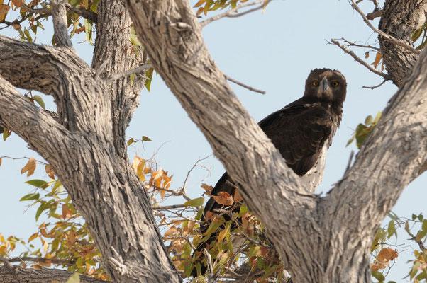 Etosha NP - Kampfadler - Martial Eagle -   Breëkoparend