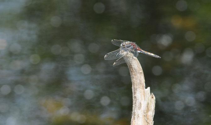 Kleine Moosjungfer - Leucorrhinia dubia