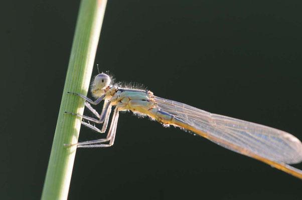 Vermutlich Große Pechlibelle - Coenagrinoidae ischnura elegans