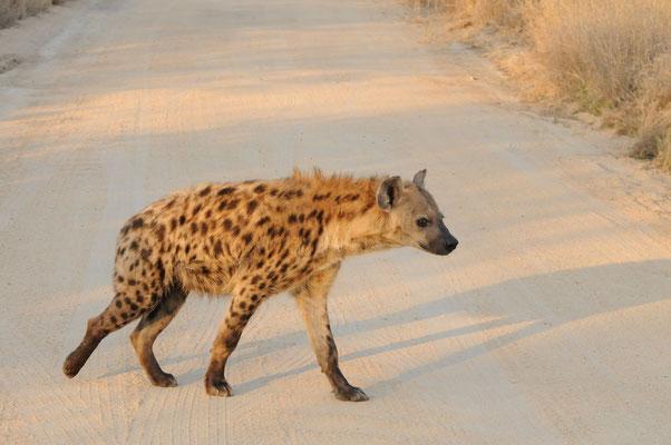 Tüpfelhyäne - spotted hyena -