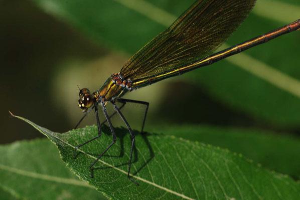 weibliche Prachtlibelle - Calopteryx virgo