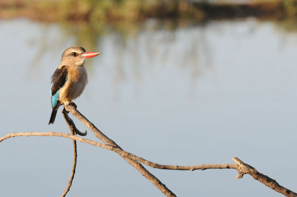 Braunkopfliest aus der Famile der Eisvögel - brown hooded kingfisher